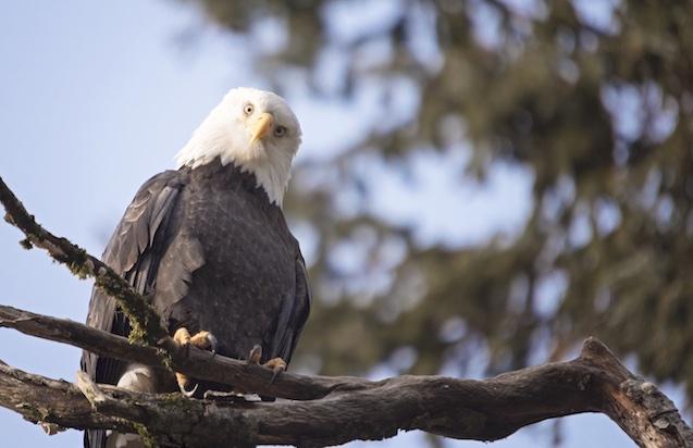Eagle viewing, Squamish BC