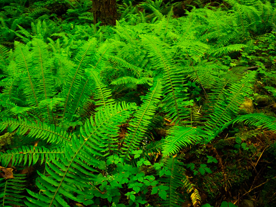 Ferns at Alice Lake