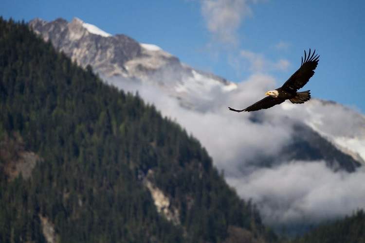 Eagles in Squamish